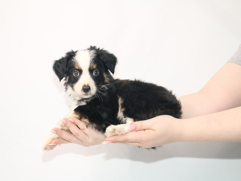 Miniature Australian Shepherd-Male-Black / Tan-3054459-My Next Puppy