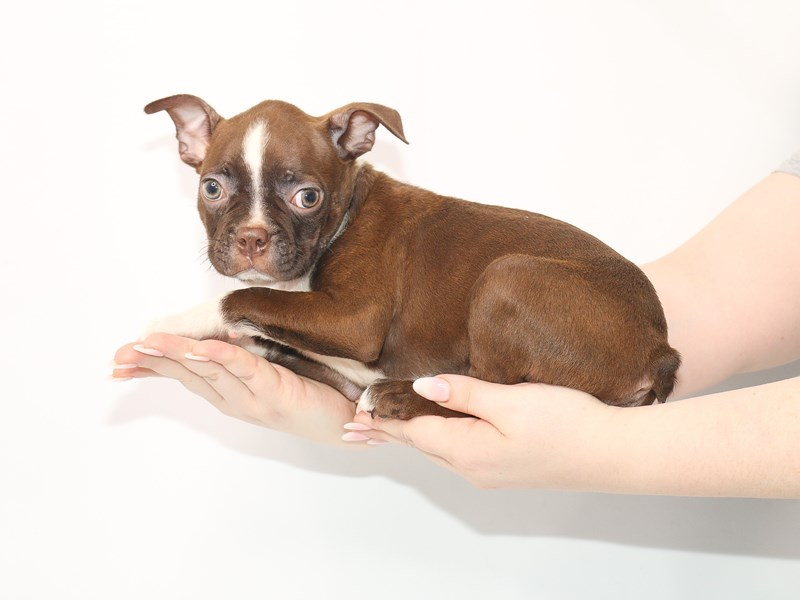 Boston Terrier-Male-Seal-3054460-My Next Puppy