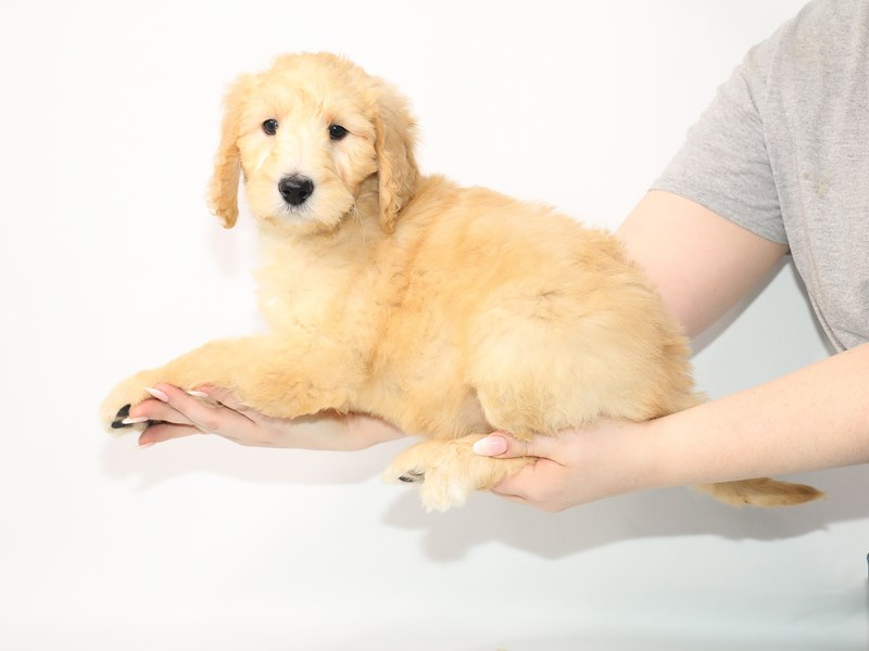 Labradoodle-Female-Yellow-3055529-My Next Puppy