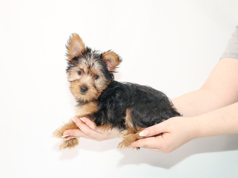 Silky Terrier-Female-Black and Tan-3056843-My Next Puppy