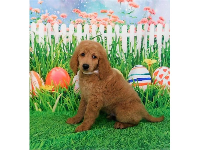Goldendoodle-Male-Golden-3066934-My Next Puppy
