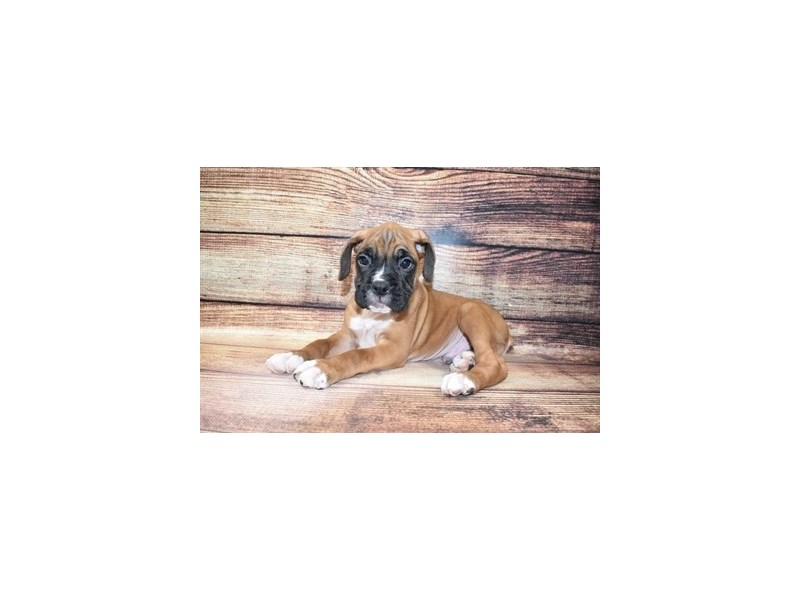 Boxer-Male-Fawn-3067658-My Next Puppy