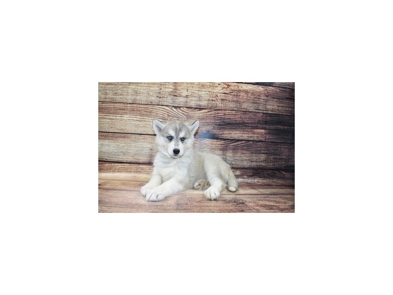Siberian Husky-Female-Sable and White-3067842-My Next Puppy