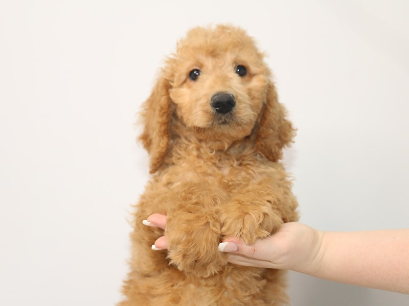 Goldendoodle-Male-Golden-3066893-My Next Puppy