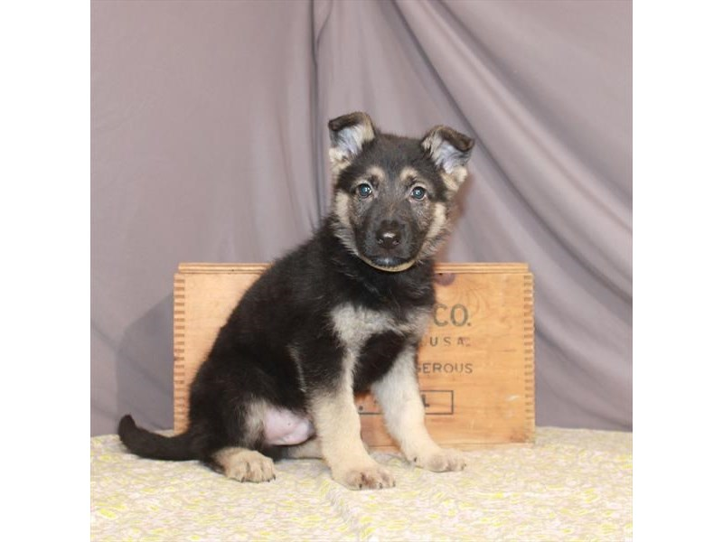 German Shepherd Dog-Male-Black / Tan-3077563-My Next Puppy