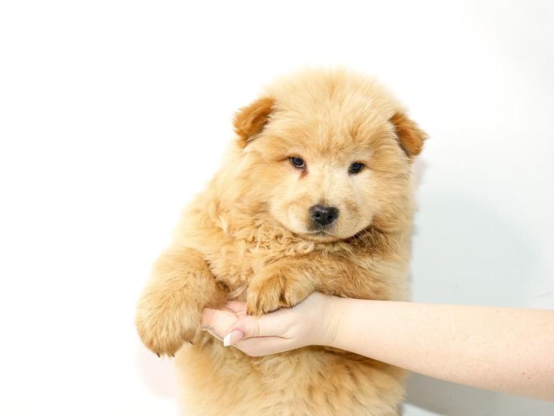 Chow Chow-Female-Cream-3077548-My Next Puppy