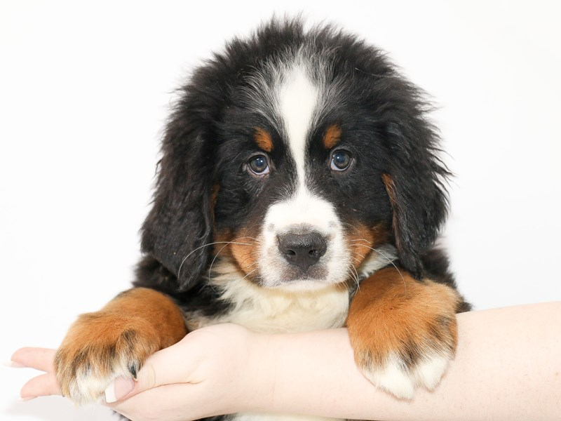 Bernese Mountain Dog-Male-Black Rust / White-3077555-My Next Puppy