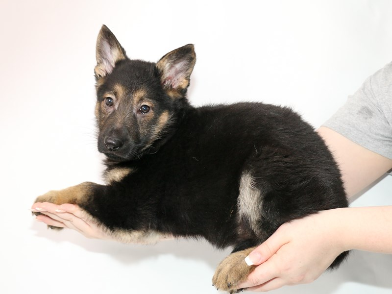 German Shepherd Dog-Female-Black / Tan-3077560-My Next Puppy