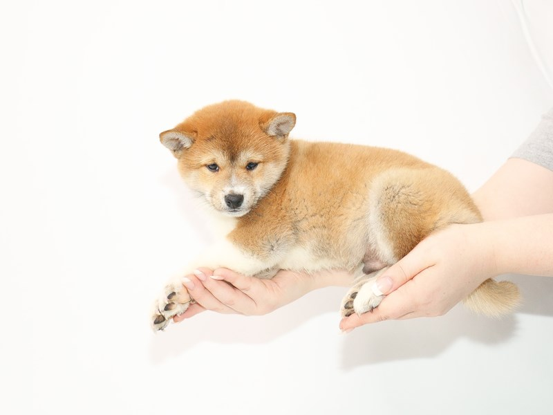 Shiba Inu-Male-Red Sesame-3077564-My Next Puppy
