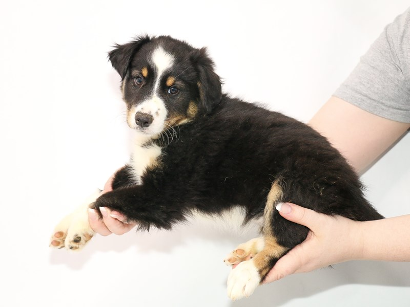 Miniature Australian Shepherd-Male-Black White and Brown-3078302-My Next Puppy