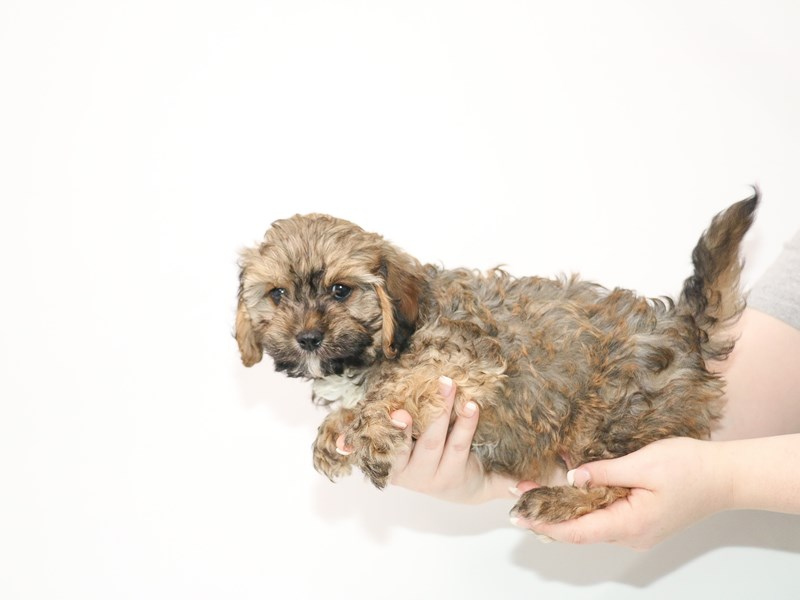 Cavapoo-Male-Brown-3078465-My Next Puppy