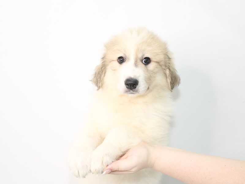 Great Pyrenees-Female-White and Biscuit-3078572-My Next Puppy