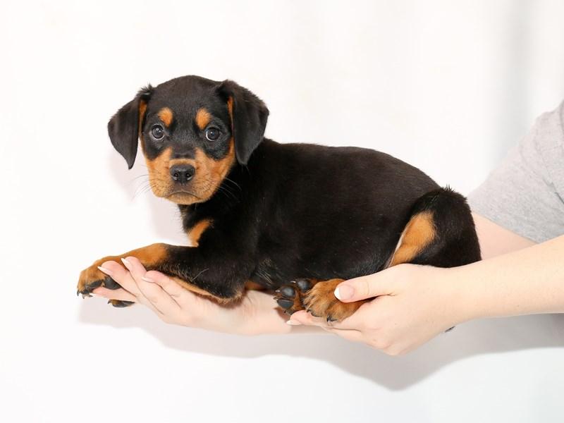 Rottweiler-Female-Black and Mahogany-3089213-My Next Puppy