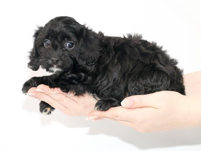 Cavapoo-Female-Black-3089405-My Next Puppy