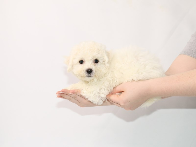 Bichon Frise-Female-White-3089407-My Next Puppy