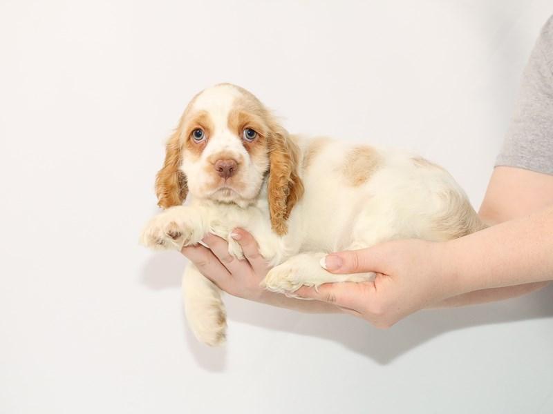 Cocker Spaniel-Male-Buff / White-3089475-My Next Puppy