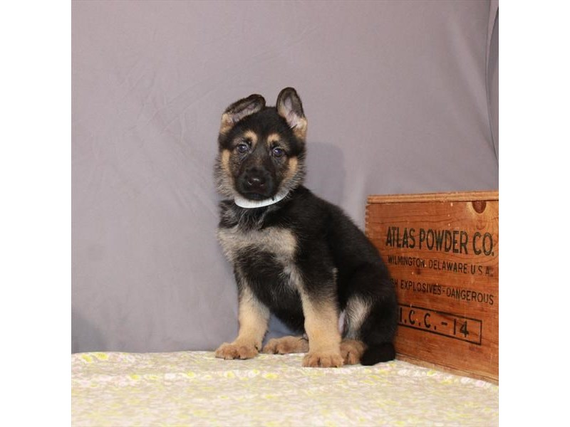 German Shepherd Dog-Male-Black / Tan-3100308-My Next Puppy