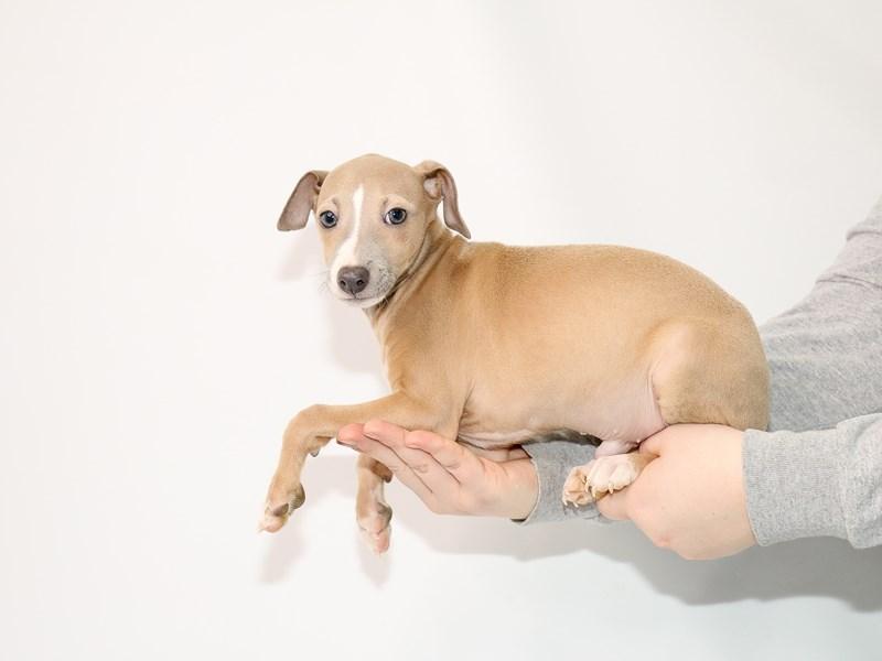 Italian Greyhound – Fresca