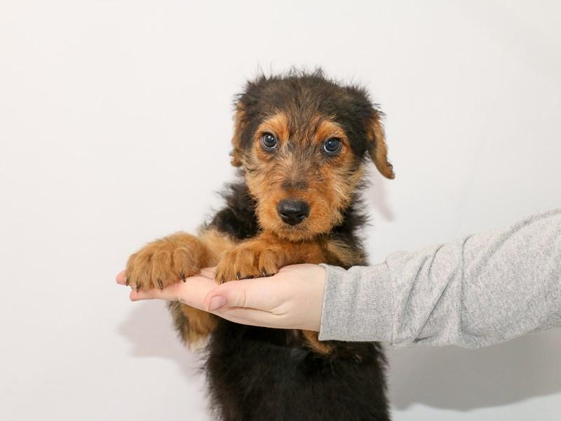 Airedale Terrier – Mello Yello