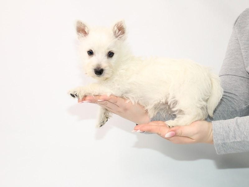 West Highland White Terrier-Female-White-3045771-My Next Puppy