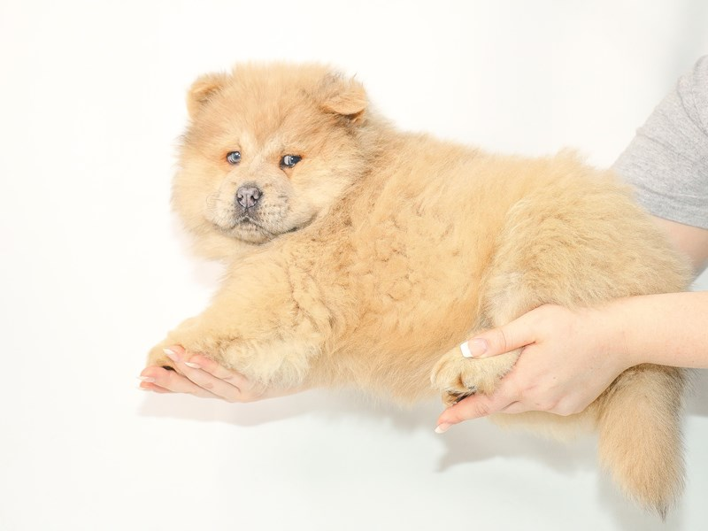 Chow Chow-Male-Blue Fawn-3077551-My Next Puppy