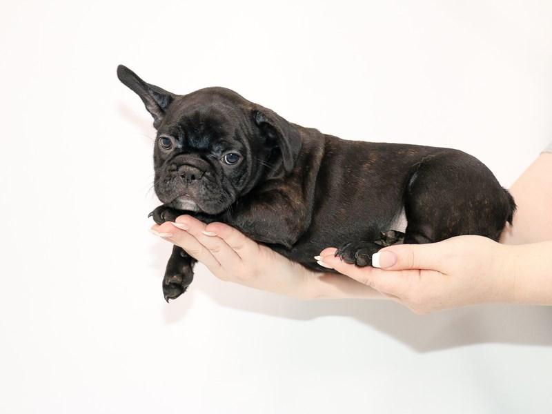 French Bulldog-Male-Black Brindle-3077593-My Next Puppy
