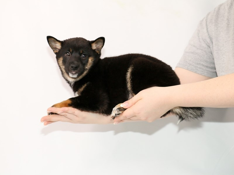 Shiba Inu-Female-Black and Tan-3089396-My Next Puppy