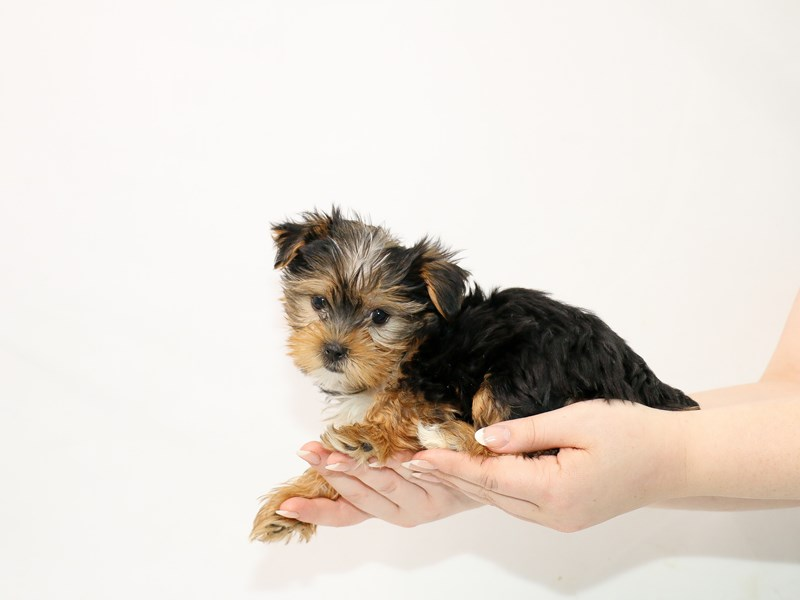 Yorkshire Terrier-Female-Black / Tan-3100300-My Next Puppy
