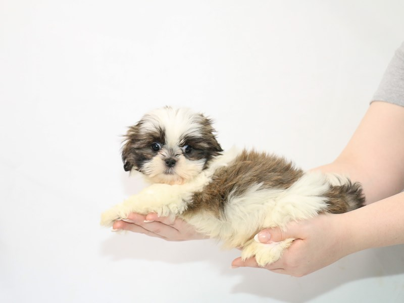 Shih Tzu-Male-Brindle / White-3100305-My Next Puppy