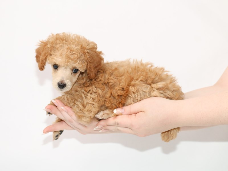 Miniature Poodle-Female-Red-3100309-My Next Puppy