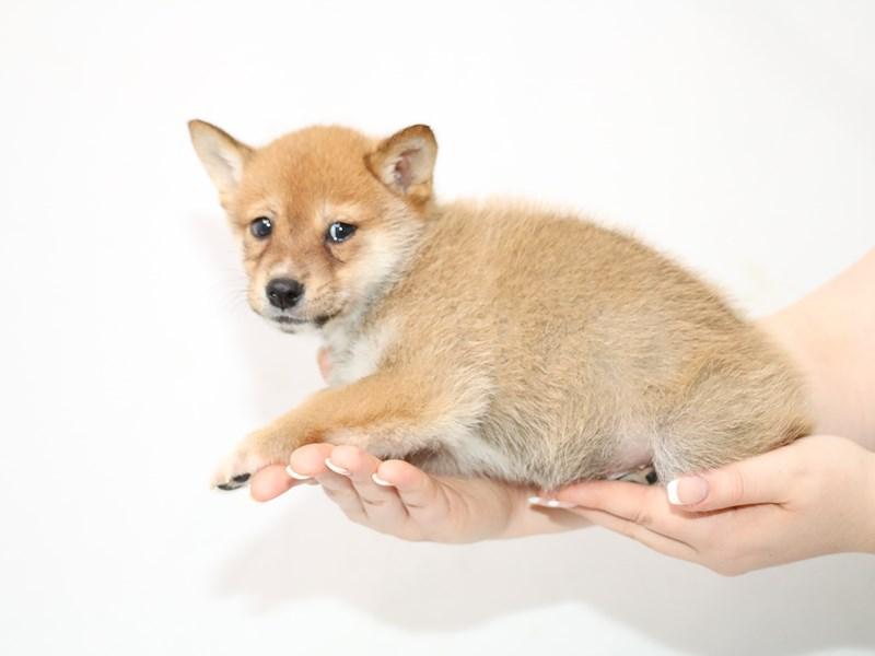 Shiba Inu-Male-Red Sesame-3111063-My Next Puppy