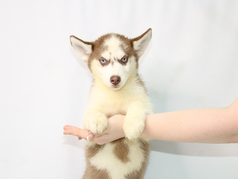 Siberian Husky-Female-Red / White-3111064-My Next Puppy
