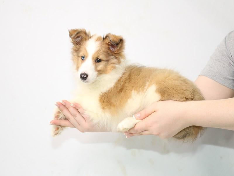 Shetland Sheepdog-Female-Sable and White-3111622-My Next Puppy