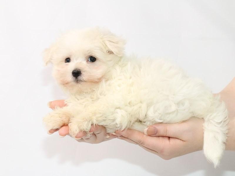 Maltese-Male-White-3122043-My Next Puppy