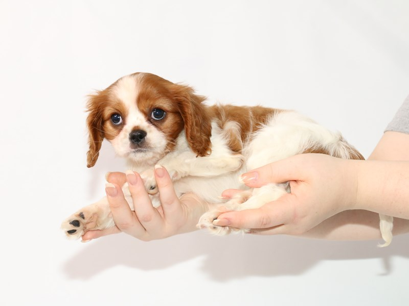 Cavalier King Charles Spaniel-Female-Blenheim / White-3122048-My Next Puppy
