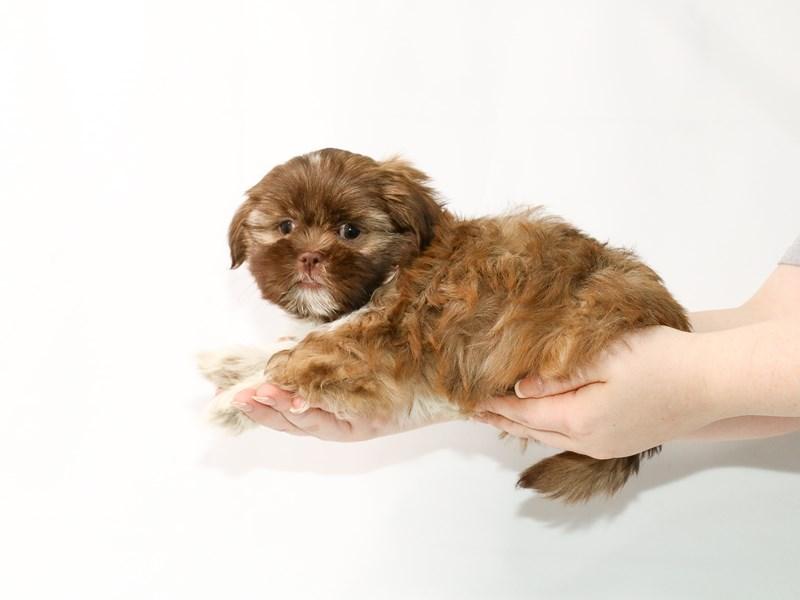 Shih Tzu-Male-Chocolate Gold-3122050-My Next Puppy