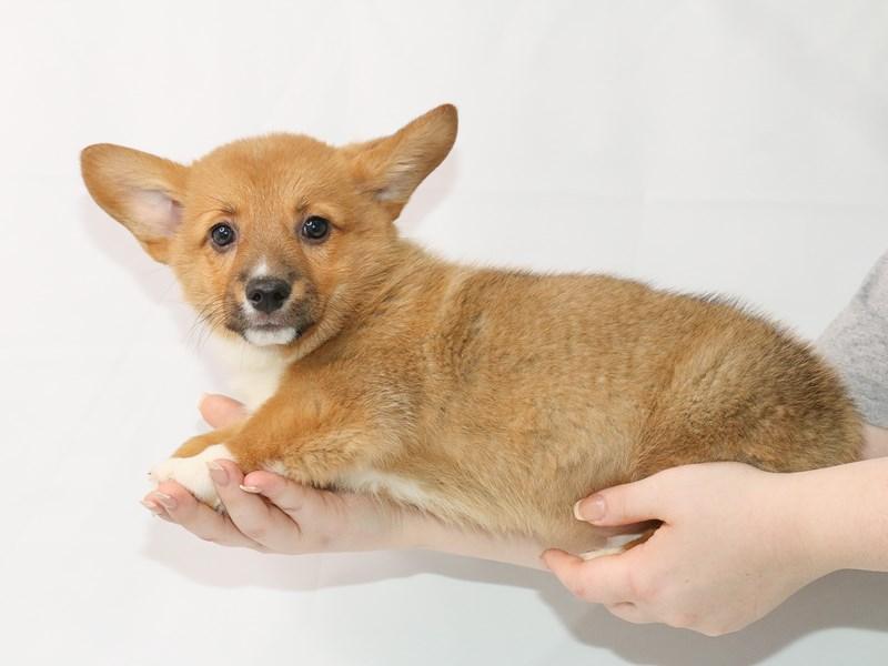 Pembroke Welsh Corgi-Male-Sable / White-3122100-My Next Puppy