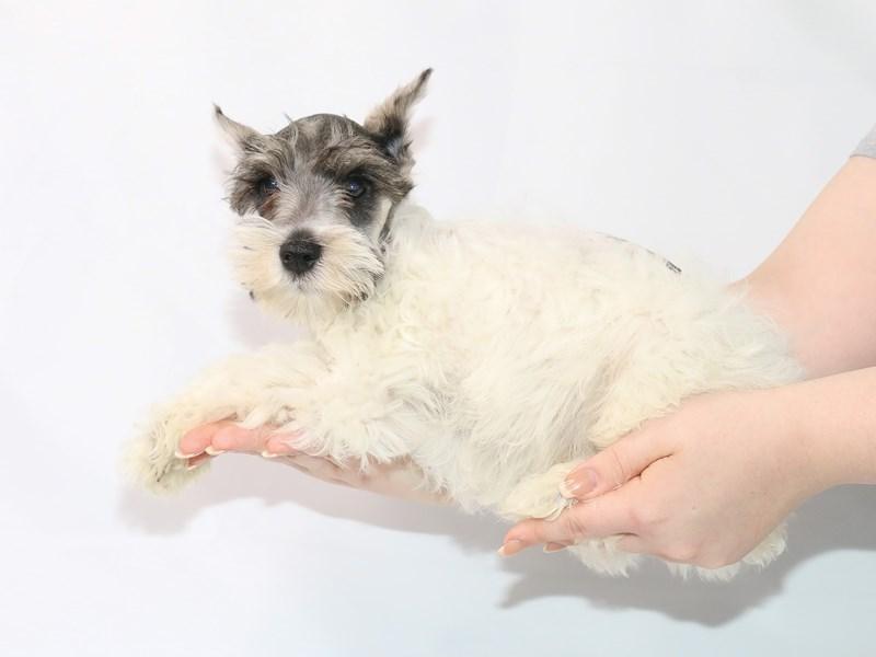 Miniature Schnauzer-Male-Salt and Pepper-3121265-My Next Puppy
