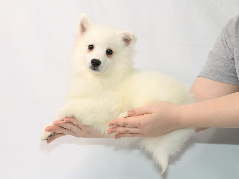 American Eskimo-Male-White-3121290-My Next Puppy