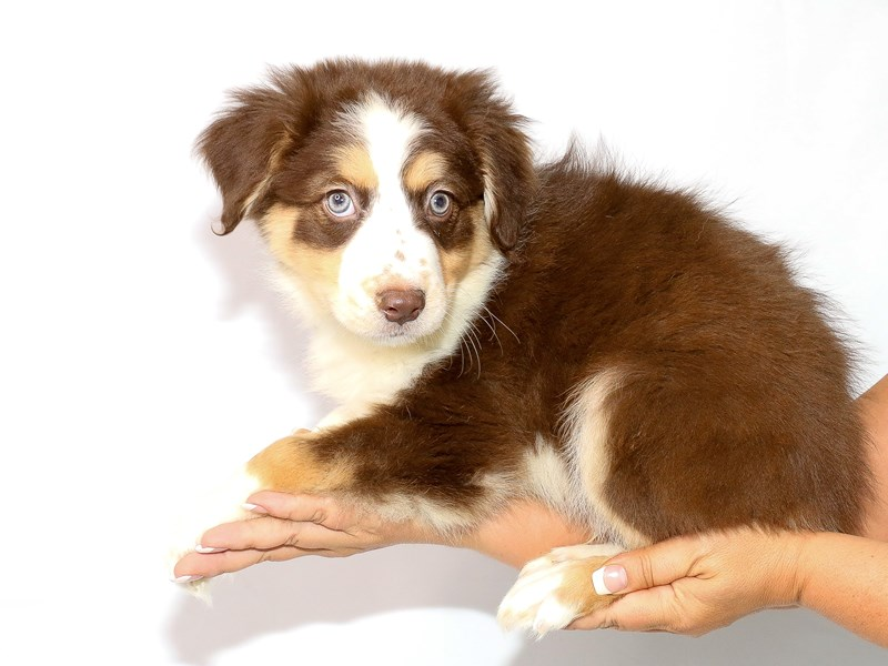 Australian Shepherd-Male-Red-3132223-My Next Puppy
