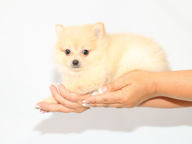Pomeranian – Curd