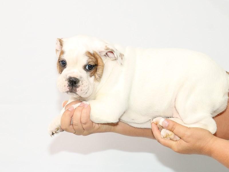 English Bulldog-Female-Red and White-3132601-My Next Puppy