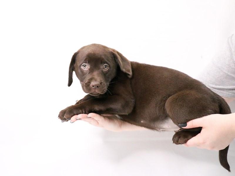 Labrador Retriever-Female-Chocolate-3143658-My Next Puppy