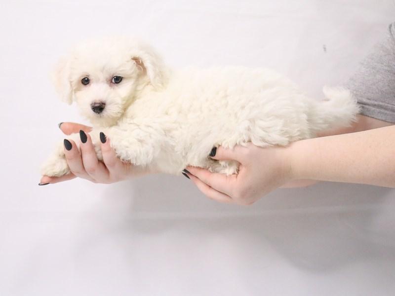 Bichon Frise-Female-White-3143724-My Next Puppy