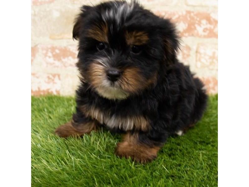 Yorkshire Terrier-Male-Black / Tan-3153118-My Next Puppy