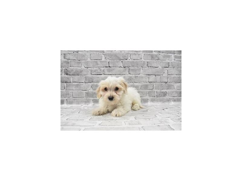 Coton De Tulear-Male-White-3153435-My Next Puppy