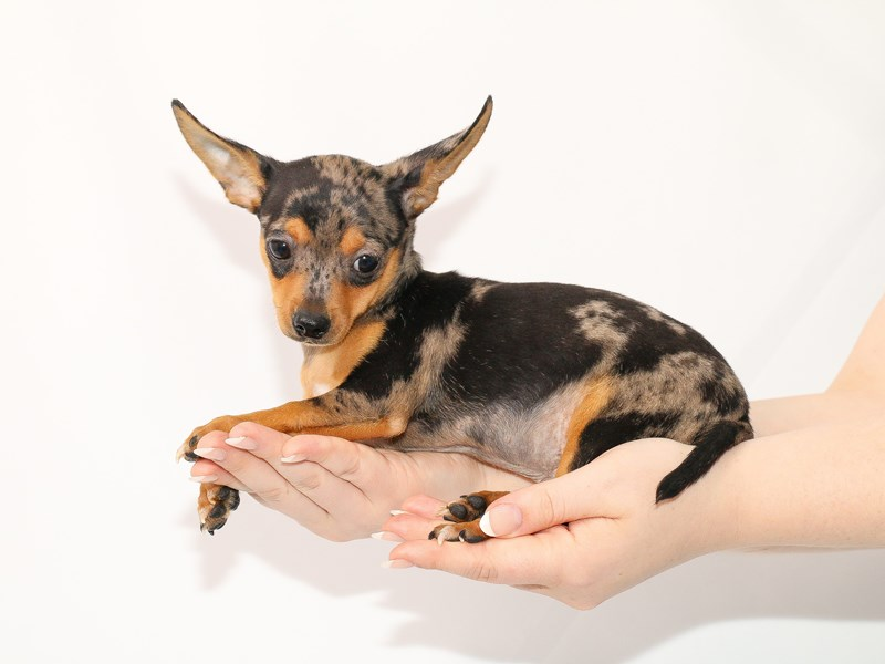 Chihuahua-Male-Blue Merle-3089406-My Next Puppy