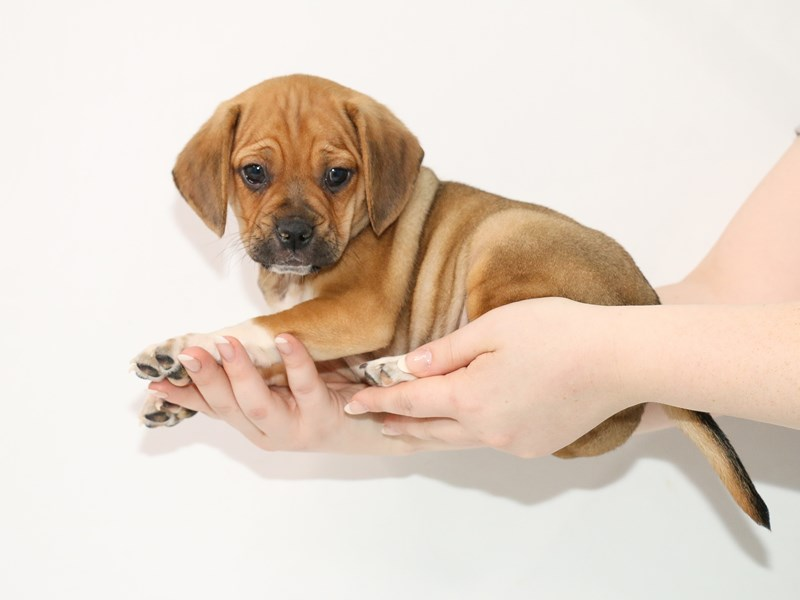 Puggle-Male-Apricot-3100590-My Next Puppy