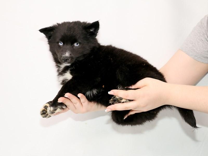 Pomsky-Female-Black-3111060-My Next Puppy