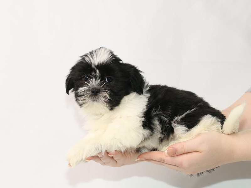 Shih Tzu-Male-Black / White-3122044-My Next Puppy